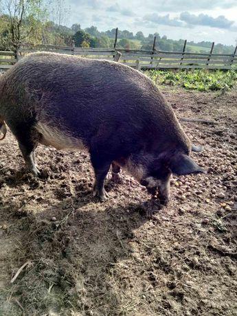Продається доросла свиня мангал