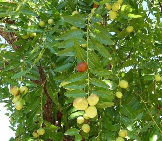 NOVIDADE Plantas de jujuba