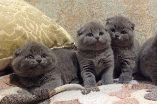 Вислоухие с документами котята, ждут вас!