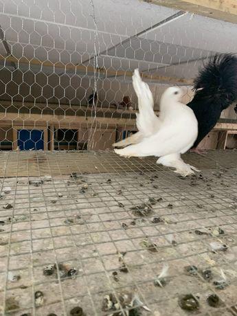 Gołębie ozdobne omskie syberyjskie rostowskie samiczka 20r