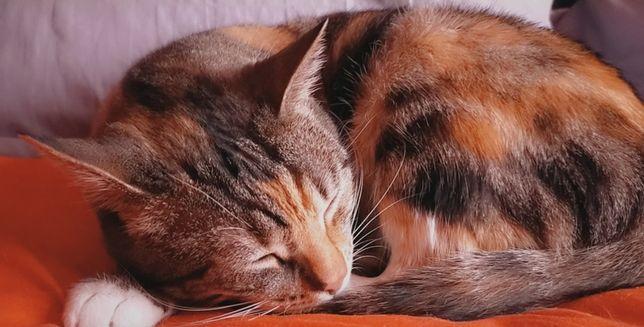 Молодая кошка трехцветная Мишель ищет дом! Стерелизована