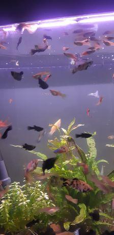 Gubiki rybki molinezje