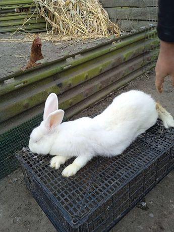 Продається кролиця