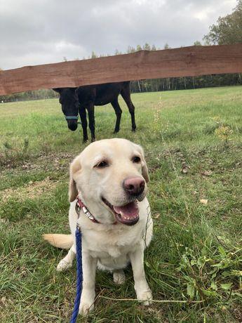 Do adopcji 7 letnia suczka Labrador Retriever