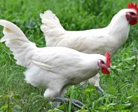 яйця для інкубації Ломан Вайт