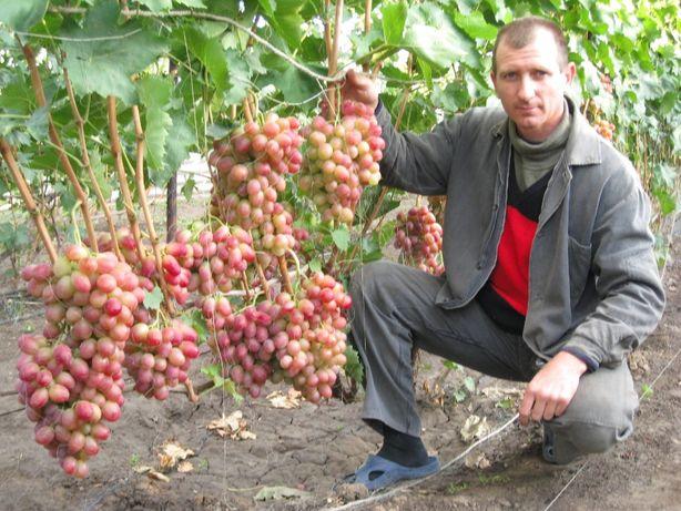 САЖЕНЦЫ и ЛОЗА винограда!