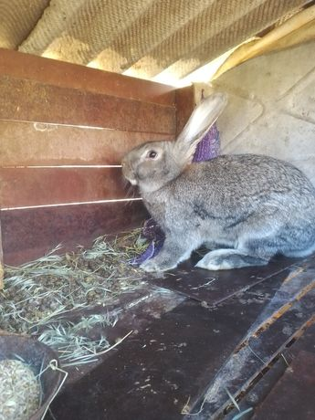 Кролики Фландер.