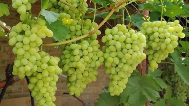 Продаю саженцы винограда собственного производства мускат сорта Ландыш