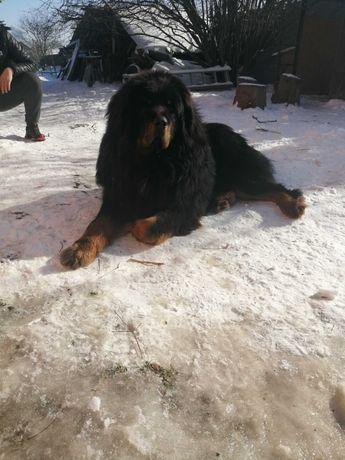 Mastif Tybetański - Pies reproduktor