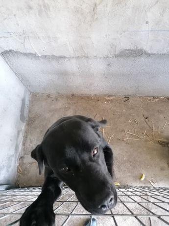 Cadela labrador preta