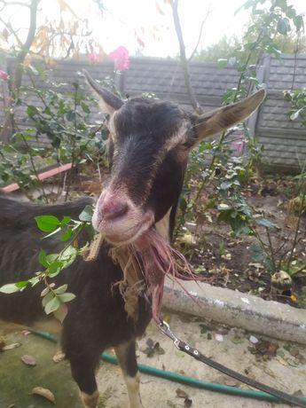 Продається коза