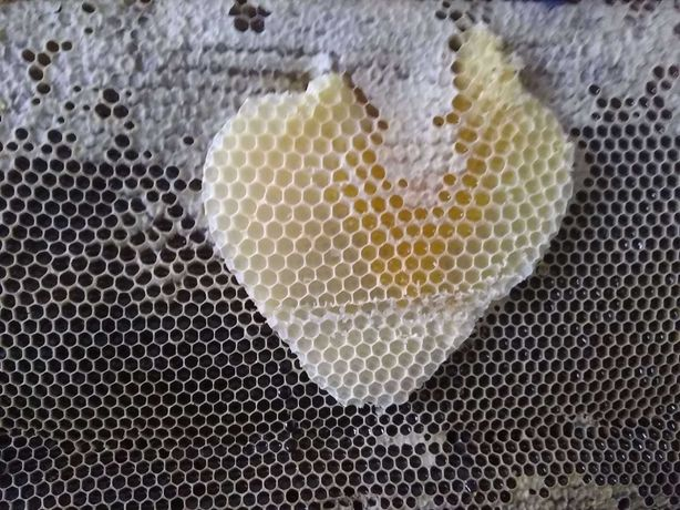 пчеломатки карпатка Вучкивська