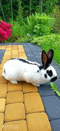 Sprzedam króliki srokacz niemiecki