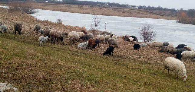 Продам вівців, ягнят(можна оптом)