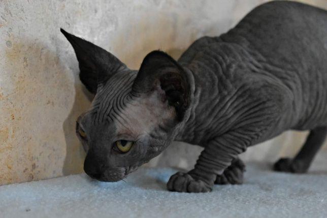 Продаются котята Сфинксы и Эльфы разные окрасы.