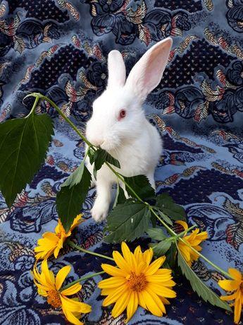Продам кроликов..Белый Панон.