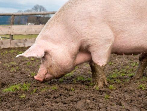 Продам Свинью живым весом