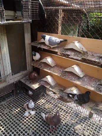 Gołębie ozdobne różnych ras