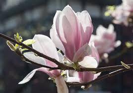Magnolia magnolie