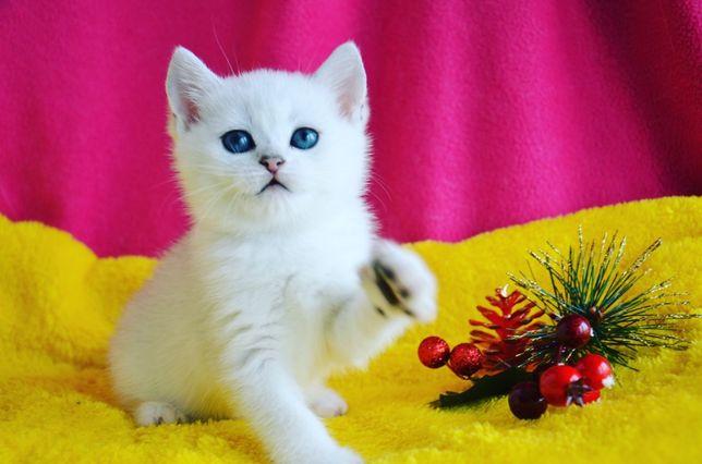 Британские котята Серебристая Шиншилла.