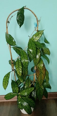 Хойя Callistophylla UT-158