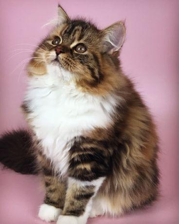 Шотландская девочка красивый котенок.
