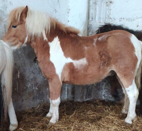 Koń  mały  kucyk