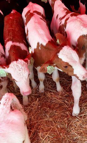 Byki i jałówki mięsne na opas atrakcyjne ceny