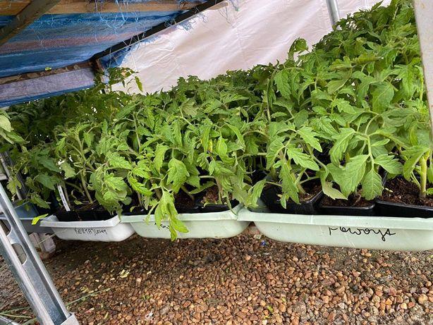Pomidory sadzonki ogórki cukinia