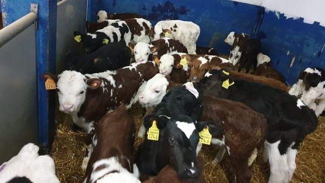 Sprzedam  byczki cielęta mięsne
