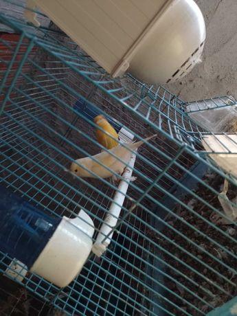Vendo casal de canarios