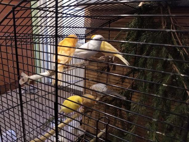 Kanarki samiczki i samczyki oraz pary