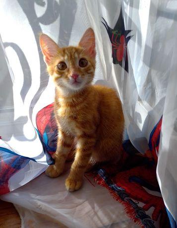 Котенок, котик 2 месяца