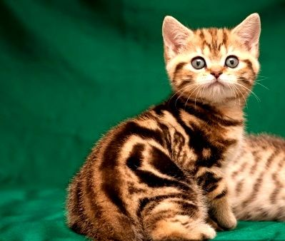Красивый котик мрамор на золоте
