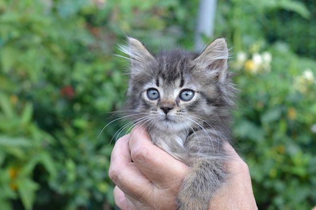 Пухнаста кішечка (кошеня котик кішка кішечка )
