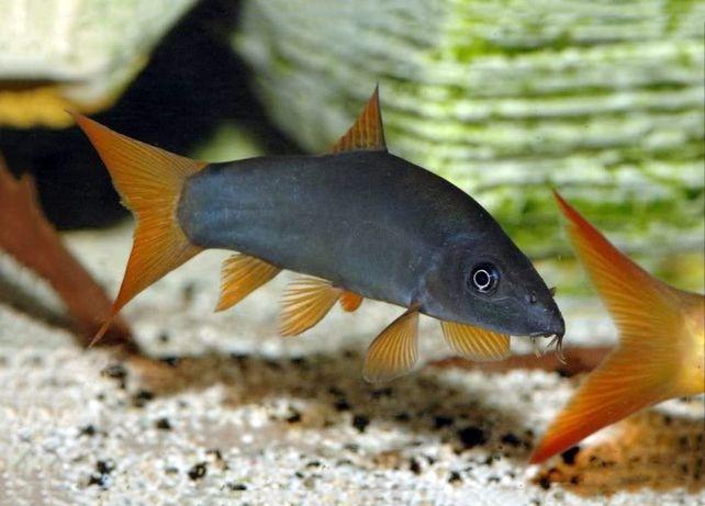Ryba bocja szara zamiana