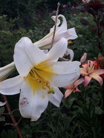 Лилии белые пахучие