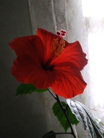 Продам молодой цветок гибискуса