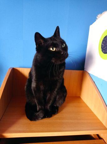 Черная шикарная кошка