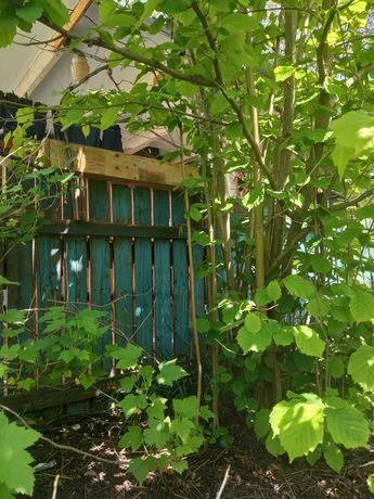 продам отростки лесного ореха( лещина)