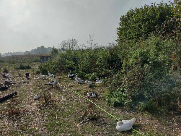 kaczki i kaczory rasa: kaczka piżmowa