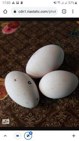 Гусиное яйцо инкубационное