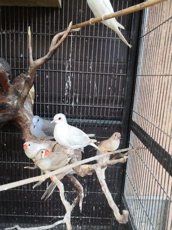 Gołąbki diamentowe, żeberki, papugi faliste