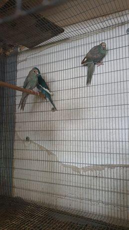 Kakari azuis e verdes