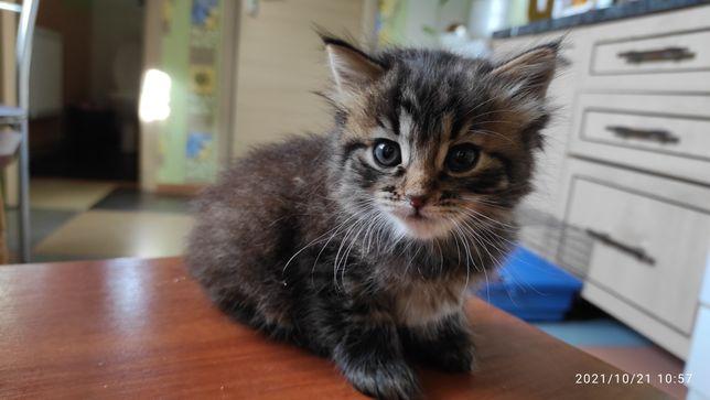 Продам котят Турецкая Ангорка