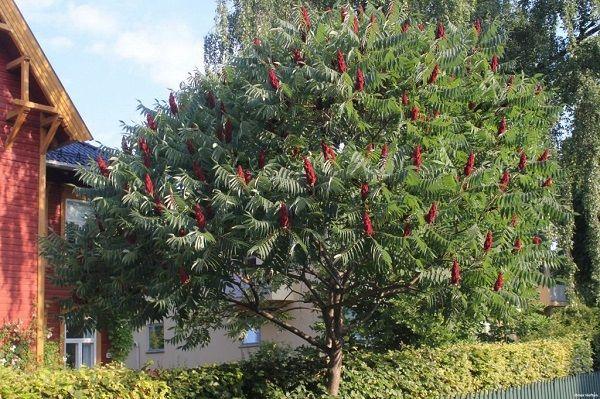 Уксусное дерево (СУМАХ ОЛЕНЕРОГИЙ) саженцы / идеальный декор для сада