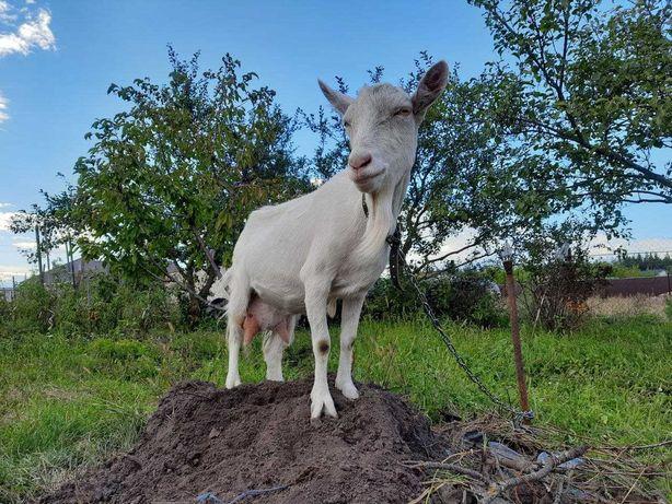 Продаємо козу Заанеської породи