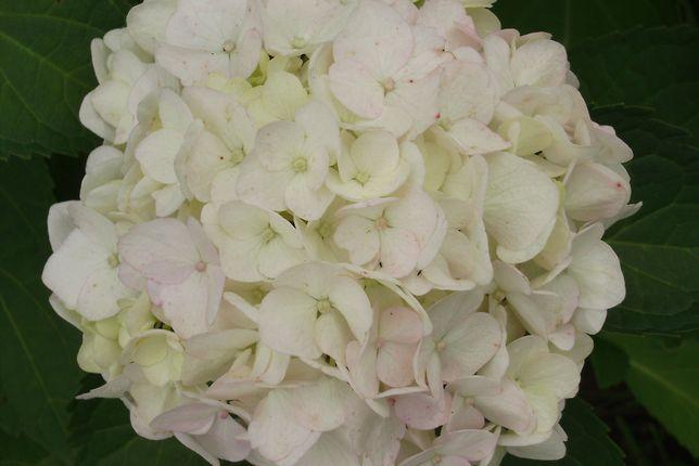 Hortensja, Hortensje Ogrodowa Libelle, Błekitna kula -rózne kolory