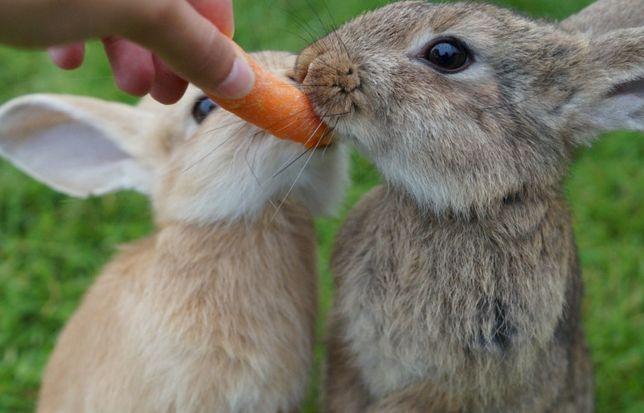 Roczne króliki na sprzedaż