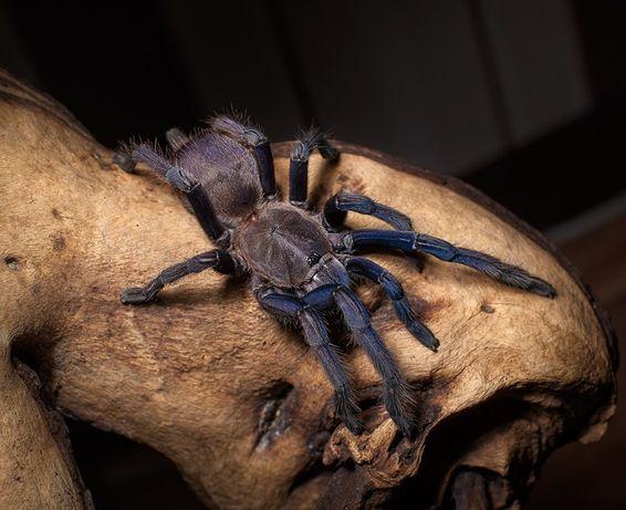 Chilobrachys sp. Vietnam Blue самка паука птицееда